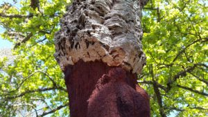 Le liège, matière naturelle -Chêne liège